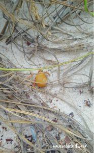 Florida mit Kindern Reisetagebuch Einsiedlerkrebs in Muschel