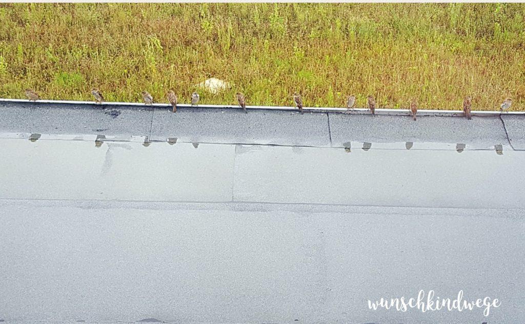 12 von 12 August 2017 Spatzen auf dem Dach