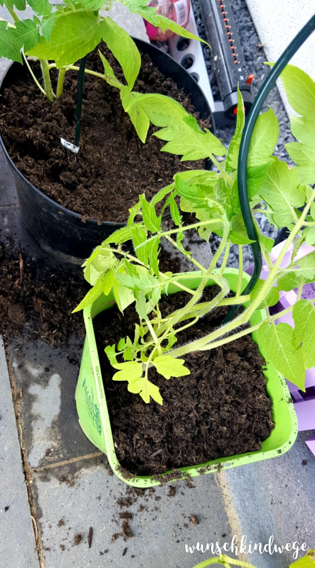 Pfingstwochenende in Bildern: Tomatenpflanzen