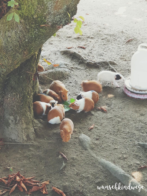 Wochenende in Bildern Kettler Hof Meerschweinchen