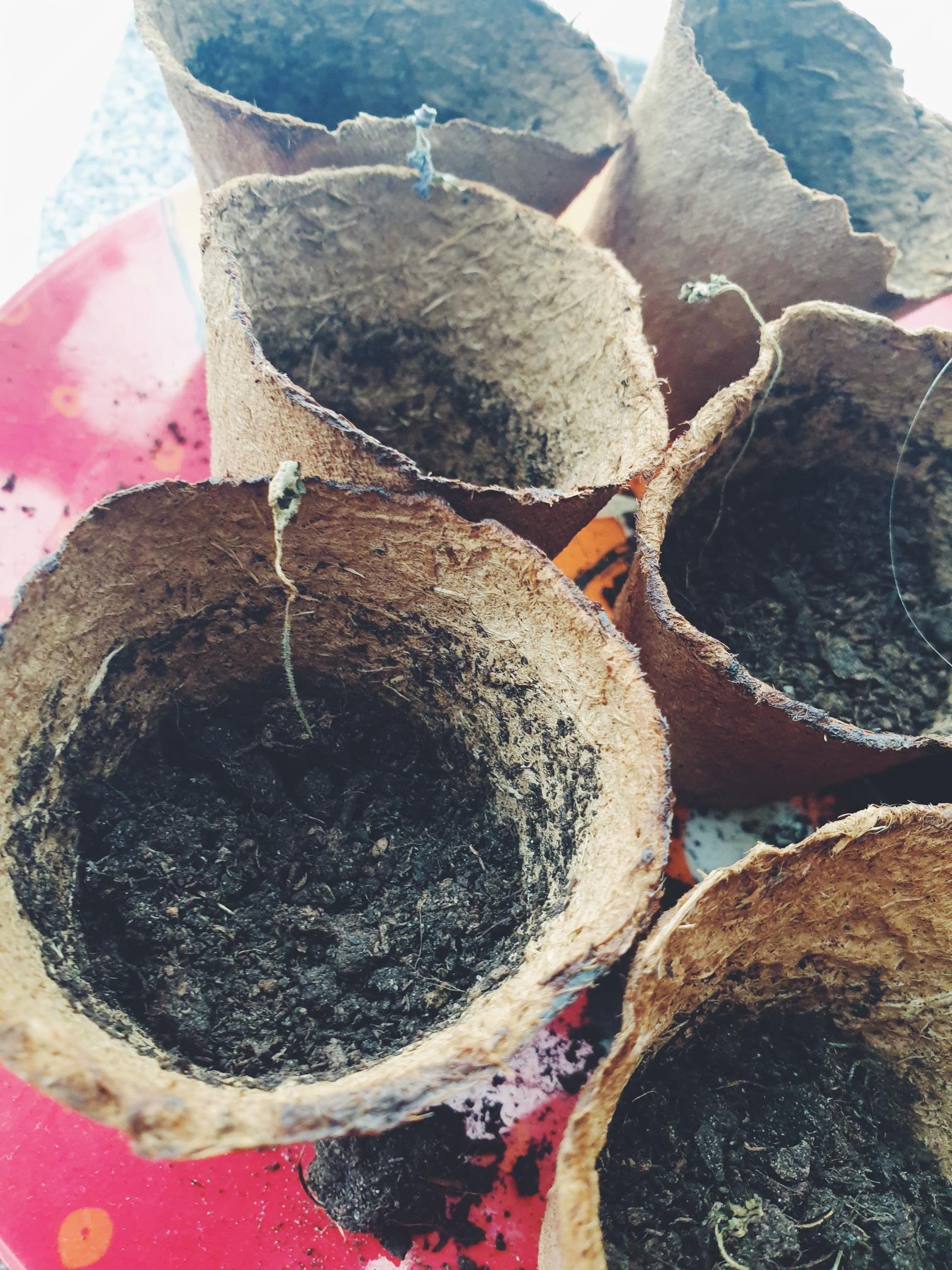 Tomatenpflanzen verdörrt